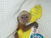 Sweet Capuchin Mo0nkey Seeking A Good Home