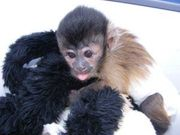 Beautiful Capuchin Monkey For Adoption